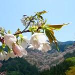 吉野山の桜の見ごろは? アクセスとおすすめコース