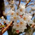 奈良の桜の名所 ランキング 吉野は外せません!!