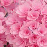 母の日にアジサイ 花言葉 鉢植えのフェアリーアイ 万華鏡が人気です♪